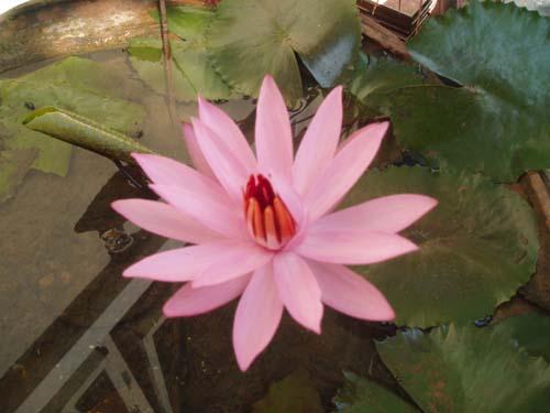 bunga-teratai-merah-1