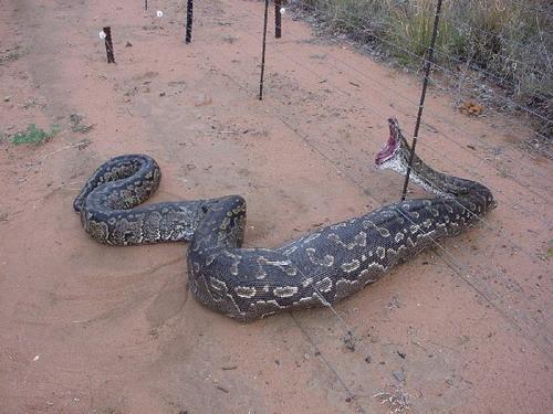 Foto ular terbesar di kalimantan tengah 41