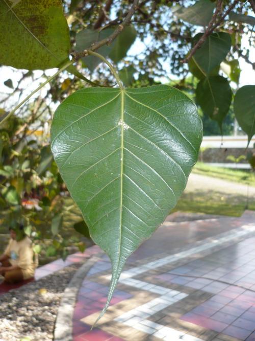 Selembar daun pohon Boddhi di depan Pagoda ; Vihara Buddhagaya Watugong, Semarang